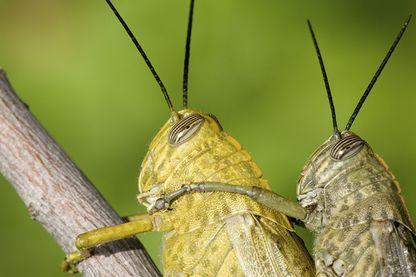 Accouplement de sauterelles
