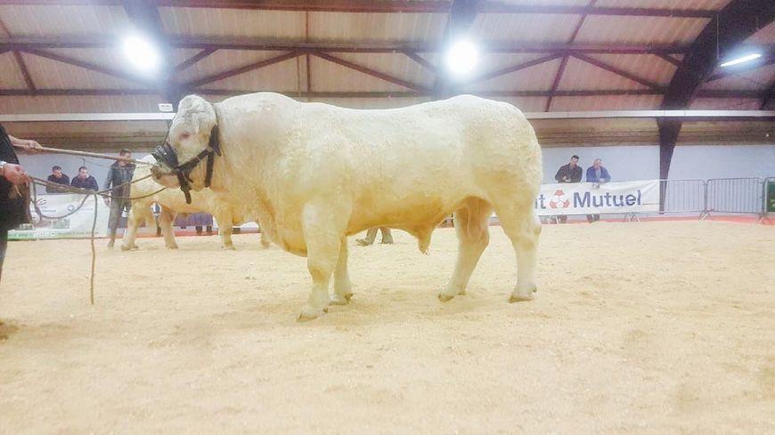 Entre 1.400 et 1.500 kilos, ce taureau icaunais a déjà participé à des concours comme celui de Moulins en décembre 2017