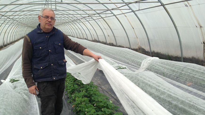 A la ferme de Nogaret, à Monteux, Ghislain Jean protège ses fraises en les recouvrant d'un voile.
