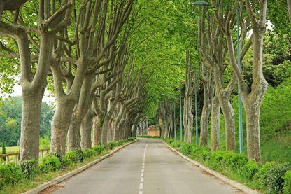 Une rue bordée de platanes, dans le Gard