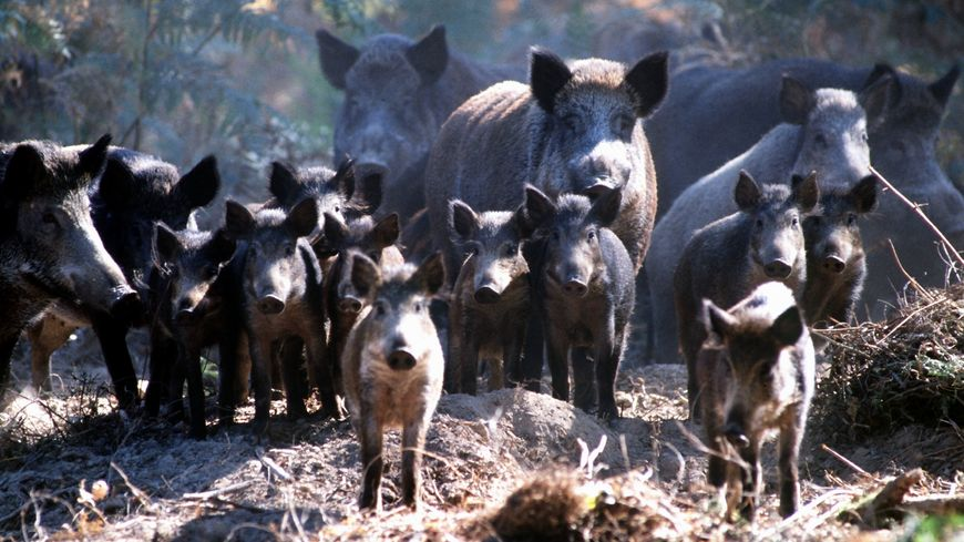 Les sangliers de l'élevage clandestin ont tous été abattus