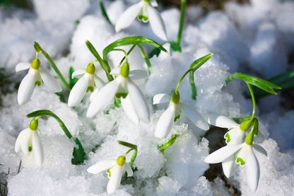 Perce-neige dans la neige
