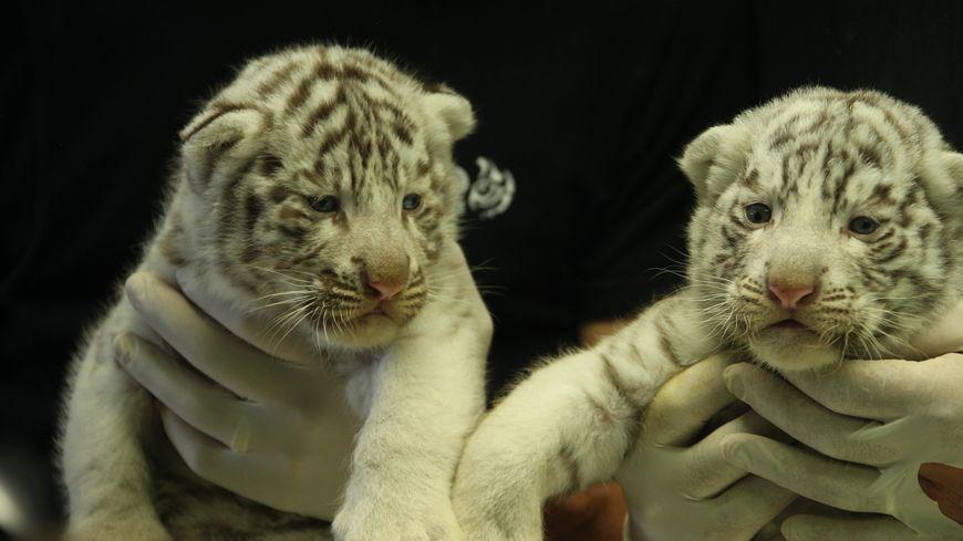 Deux des trois bébés tigres blancs nés à Amnéville