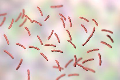 Lactobacille, une bactérie très présente dans la flore vaginale, aujourd'hui appelée microbiote vaginal, qui accompagne la femme au moment de la de puberté, des règles, de la grossesse, de la ménopause