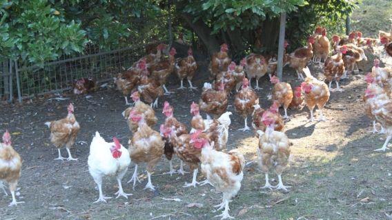 Les poules parrainées de Marie-Jeanne