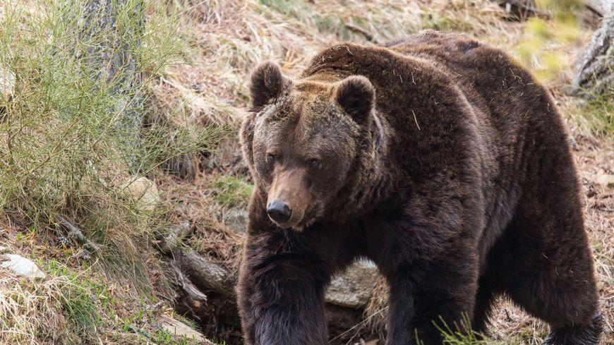 Un ours brun dans la réserve animalière des Angles (image d'illustration)