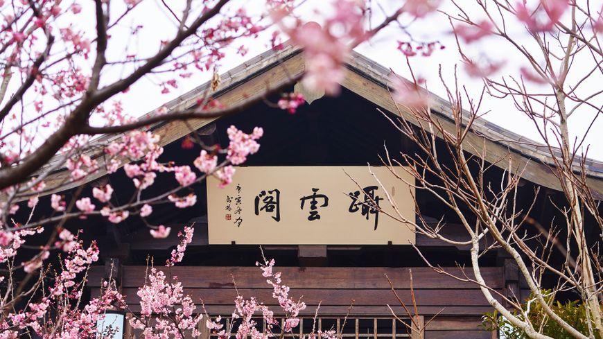 Des cerisiers en fleur en Chine