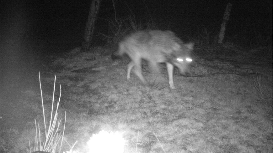 Un loup surpris par un piège photographique en Ardèche (image d'illustration)