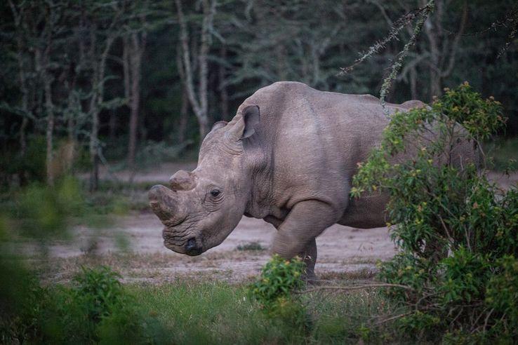 """Le rhinocéros Sudan, dans la réserve de """"Ol Pejeta Conservancy"""" au Kenya"""
