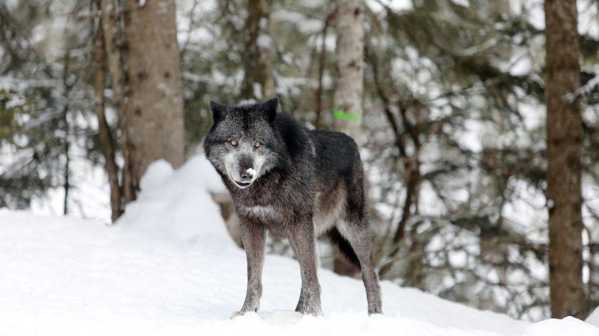 Un loup a été repéré à Périgneux dans la Loire (image d'illustration)