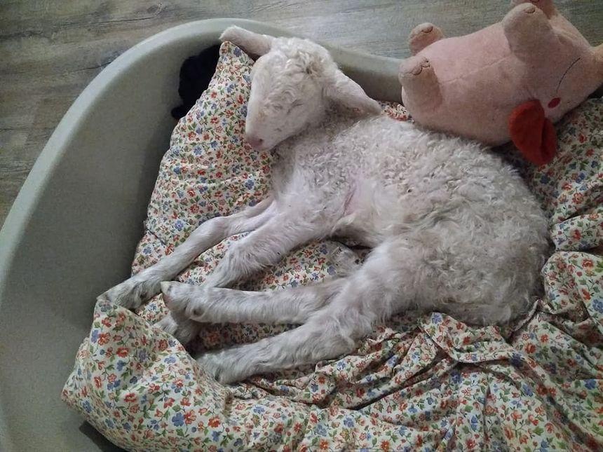 Le petit agneau doit arriver ce mercredi soir au Teil après plus de six heures de covoiturage.