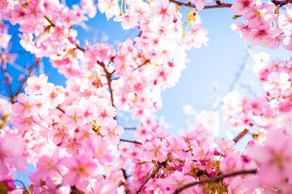 Sakura à Kyoto