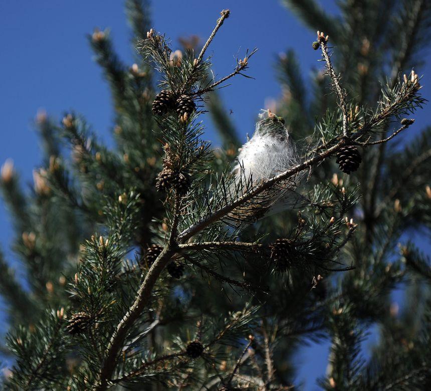 Les chenilles font généralement leurs nids dans les pins.