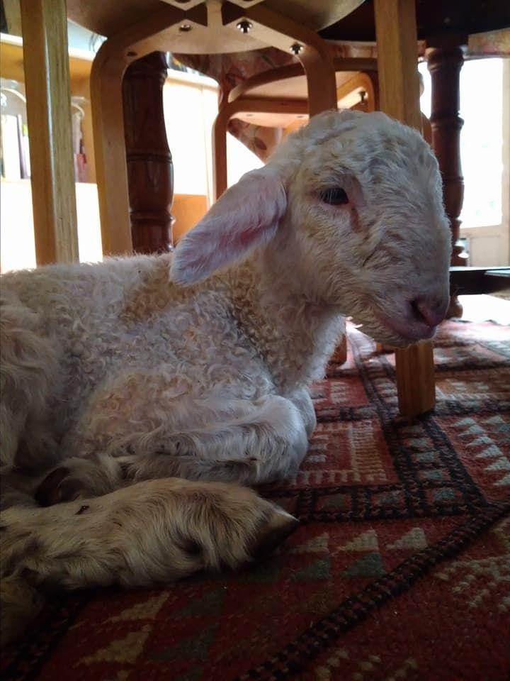 Thunder, le petit agneau bordelais sauvé grâce à une belle chaîne de solidarité.