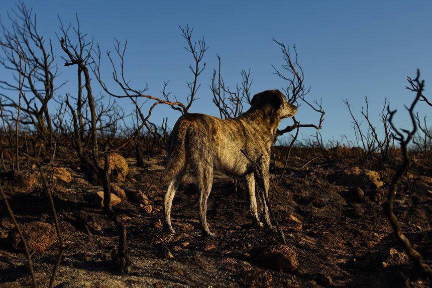 Deux Cursini vont concourir dans le cinquième groupe, celui des chiens primitifs qui n'ont été que très peu modifiés par l'humain.