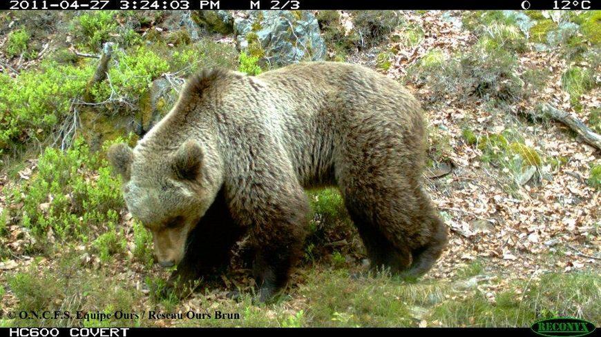 Un des ours de Melles (Haute-Garonne) photographiés en 2011 par l'Office national de la chasse et de la faune sauvage.