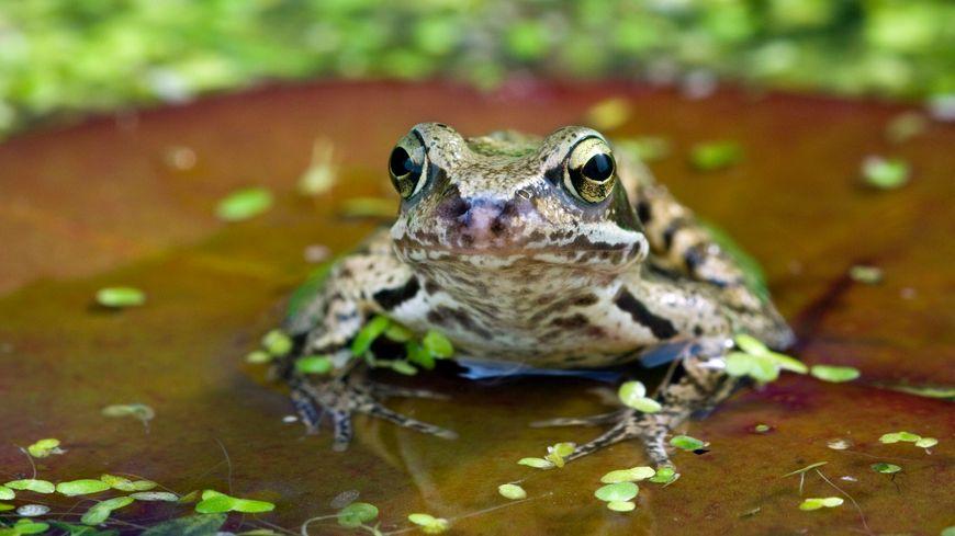 La grenouille rousse est une espèce protégée, sa pêche est réglementée. Seuls les éleveurs de grenouilles sont autorisés à les prélever et les commercialiser.