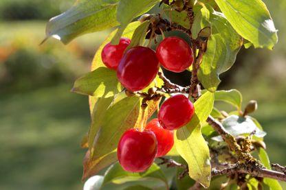 Fruits du cornouiller mâle ou cornouiller sauvage (Cornus mas)