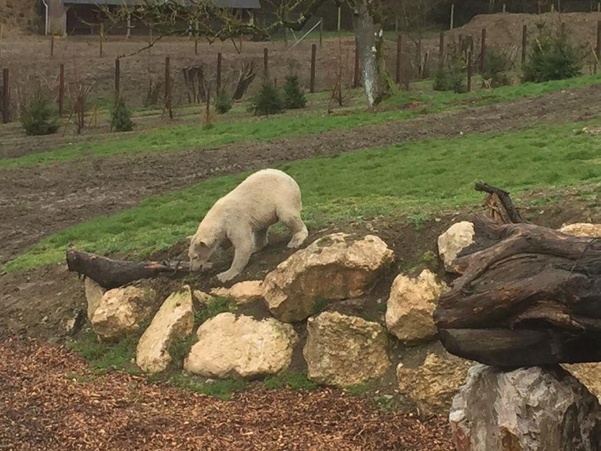 Séquence escalade dans le nouvel enclos pour l'une des deux ourses polaires