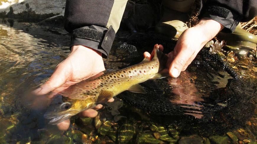 Plusieurs centaines de kilomètres de rivières ainsi que 18 lacs ont été alimentés en poissons par les associations locales de pêche.