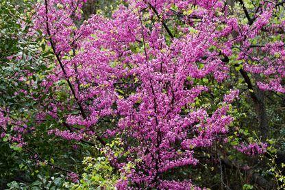 L'Arbre de Judée, ou Gainier siliquastre, est une espèce d'arbre de la famille des Fabaceae, sous famille des Caesalpinioideae et du genre Cercis. Originaire du sud de l'Europe et de l'ouest de l'Asie.