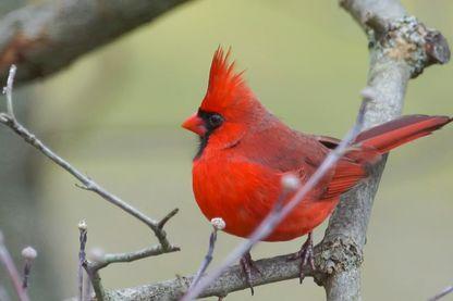 Cardinal mâle du Nord (Cardinalis cardinalis)