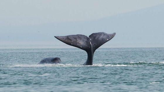 La baleine boréale, compositrice prolifique des fonds marins