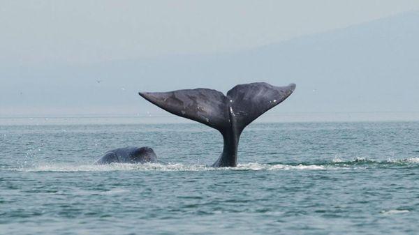 Les baleines boréales seraient des compositrices prolifiques