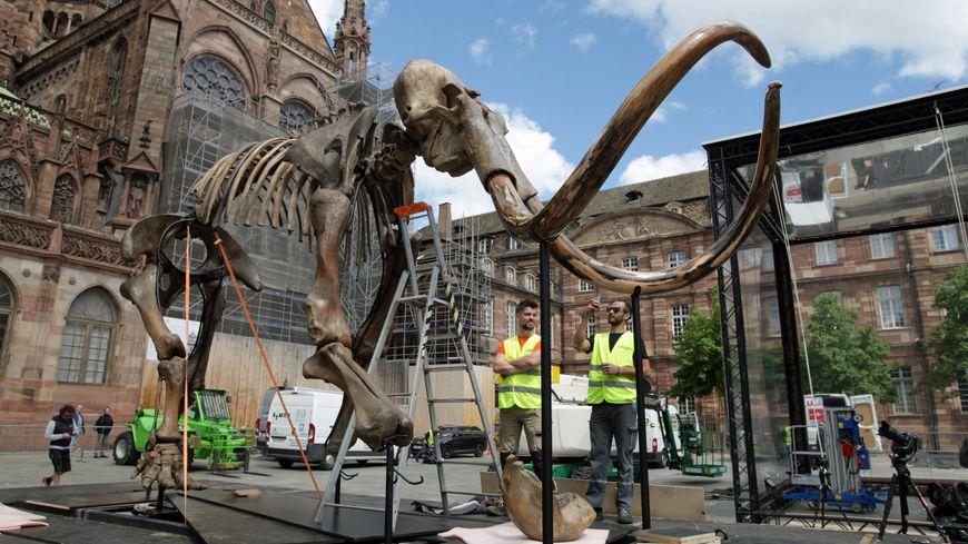 Un authentique squelette de mammouth prend ses quartiers - Soprema strasbourg ...