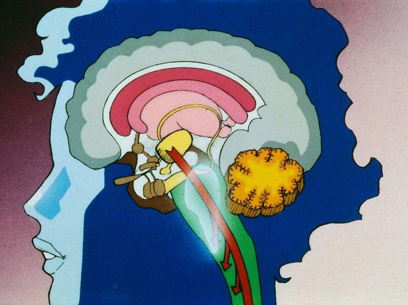 Siège de nos émotions, de nos réflexions, notre identité, le cerveau est le quartier général du système nerveux.