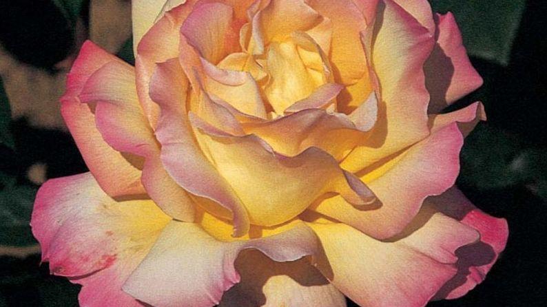 La rose Mme A. Meilland bientôt sur des timbres américains