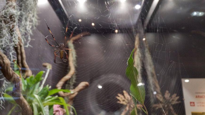 La néphile dorée est réputée pour sa soie, des tests ont même été menés à Madagascar pour tenter de développer une filière.