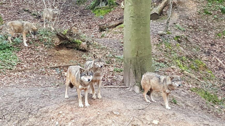 Sites de rencontre de loup