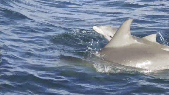 Le bébé dauphin et sa maman