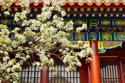 Cerisiers en fleur à la Cité Interdite le 31 mars 2018 à Beijing, en Chine