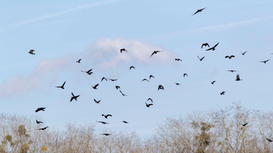 Les corbeaux pullulent à Bellac en Haute-Vienne (photo d'illustration)
