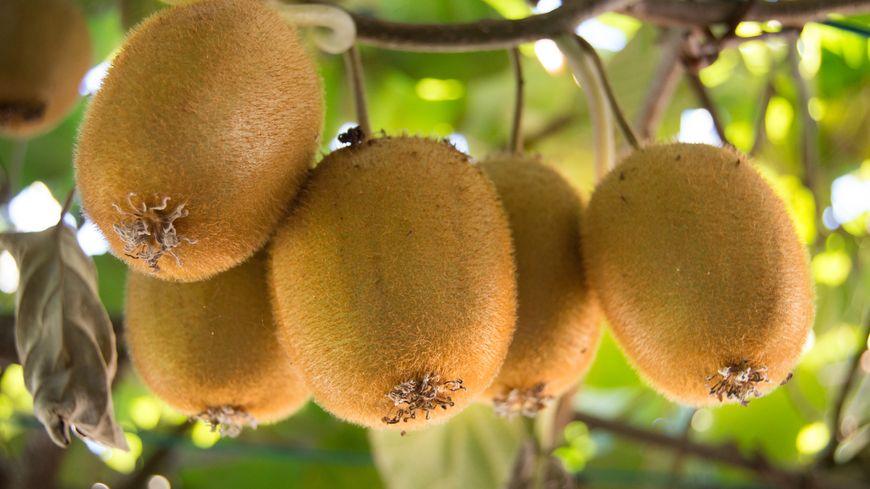 Le kiwi, un fruit cultivé par Jocelyne.