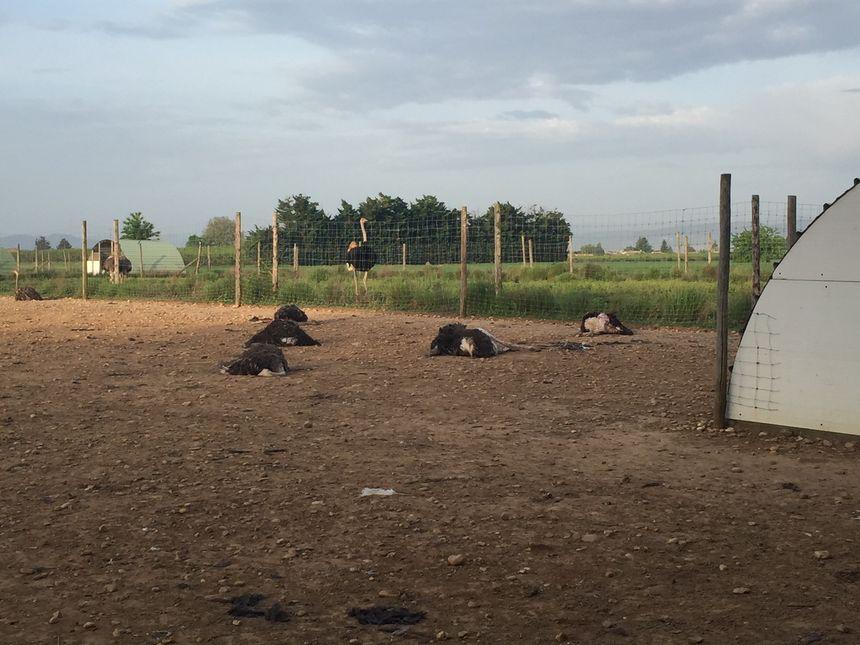 Une vingtaine d'autruches ont été tuées ce lundi matin à Livron-sur-Drôme par des chiens errants.