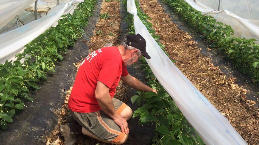 Alain Roche produit environ 10 tonnes de fraises par an. En majorité il s'agit de culture de plein champ. Une pratique qui devient rare dans la filière fraise en France.
