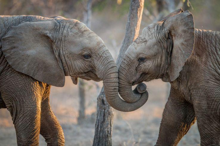 Des éléphanteaux jouent dans le Parc National de Samburu, au Kenya.