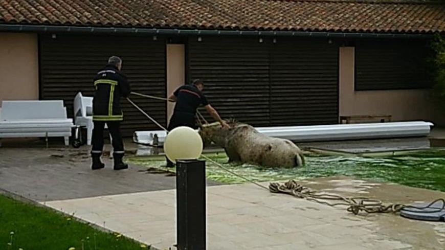 les gendarmes et pompiers ont aidé l'animal à sortir de la piscine