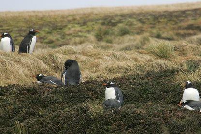 Photo prise le 1er juillet 2007 d'un groupe de manchots papous nidifiant sur l'île de la Possession dans l'archipel des Crozet (Terres Australes et Antarctiques Françaises).