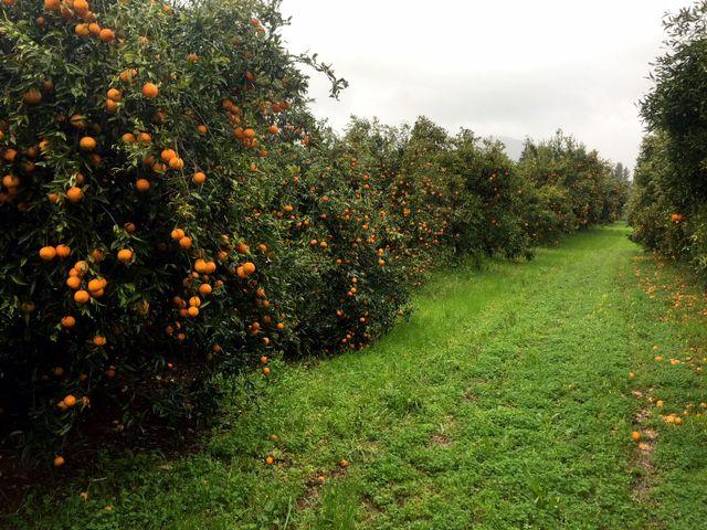 Les agriculteurs corses le constatent : la maturité des agrumes a avancé de cinq semaines