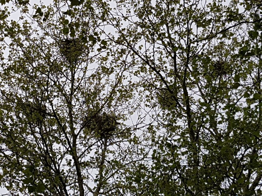 Dans cet arbre du quartier de Jolibois à Bellac, plusieurs nids de corbeaux comme dans chaque arbre du secteur