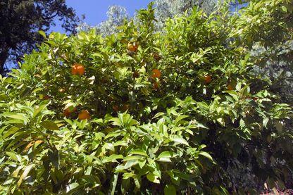 Oranger du Mexique