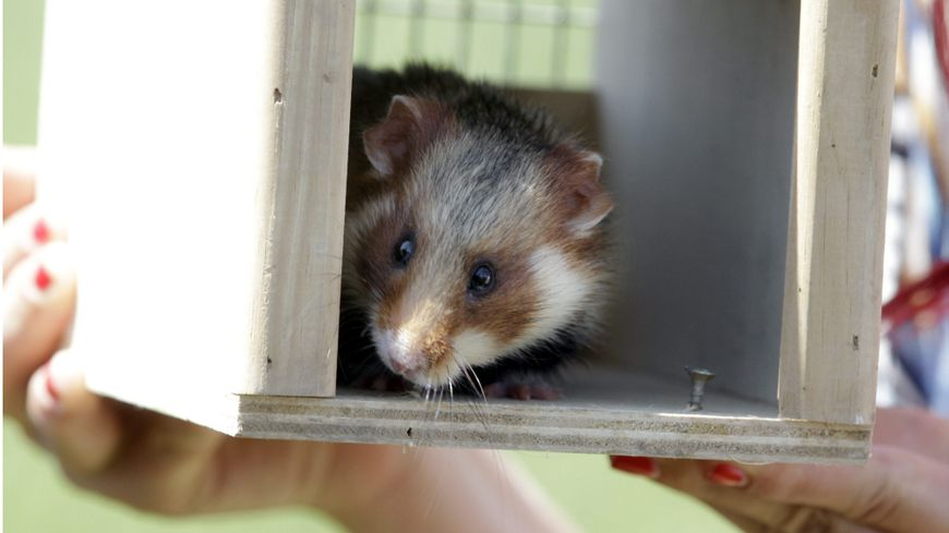 Le grand hamster d'Alsace a vu sa population augmenter en 2018