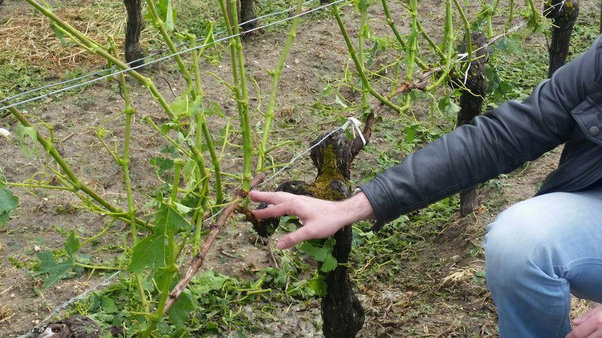 Dans cette vigne de Samonac, les grêlons ont tout détruit ou presque