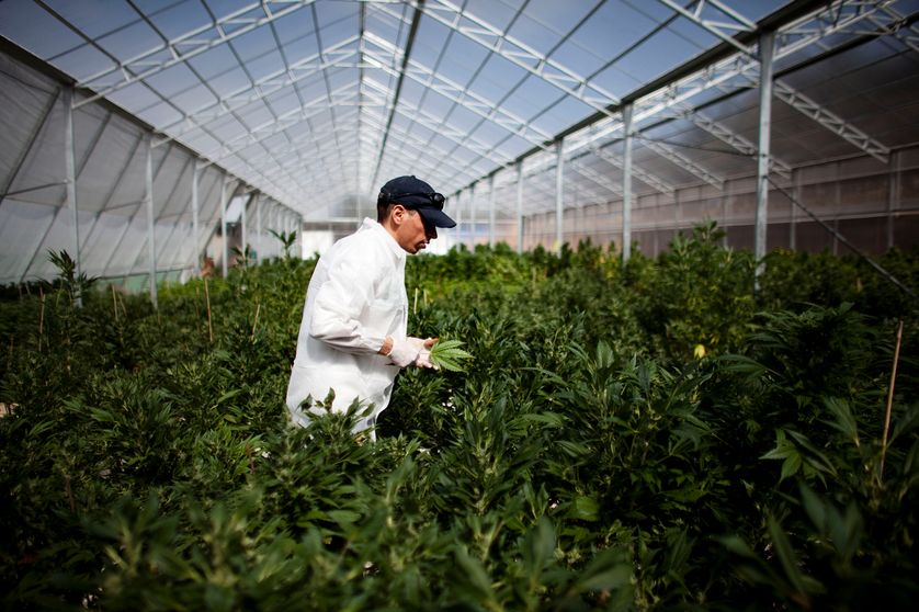 Culture de cannabis en Israël en mars 2011