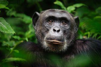 Chimpanzé en Ouganda