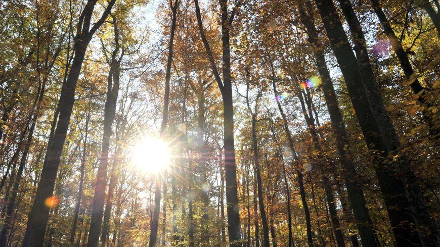 les chênes de la forêt de Tronçais sont réputés